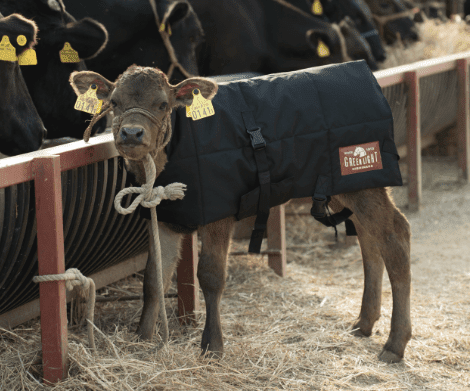 仔牛の写真